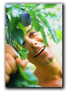 Young man harvesting plums