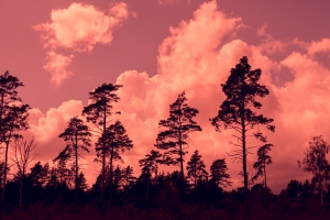 Tall pine trees at sunset cloudy sky